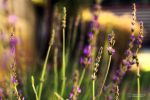Lavender hill by linda-Bee
