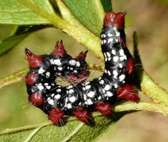Datana major - Azalea Caterpillar Moth cat by duggiehoo