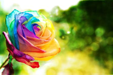 Rainbow rose wallpaper by EliseEnchanted