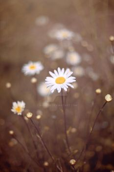 Ox eye daisy by WorldII