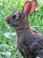 wild rabbit by DisneyPrincessNeeNee
