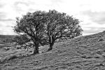 Two trees by UdoChristmann