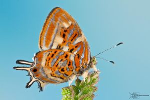 Hairstreak butterfly by ColinHuttonPhoto