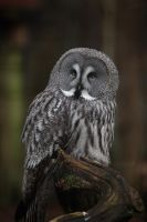 Great Grey Owl. by Ravenith