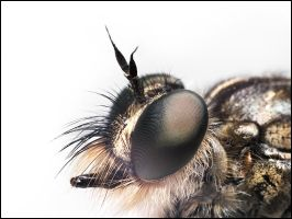 robberfly profile by graemo