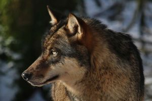 portrait of a wolf by Dieffi