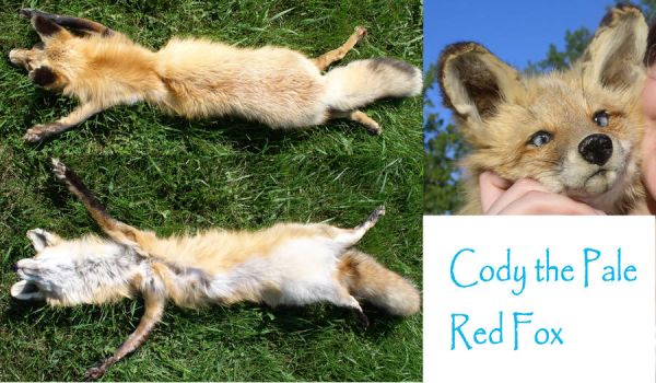 Cody the Pale Red SOLD by galianogangster