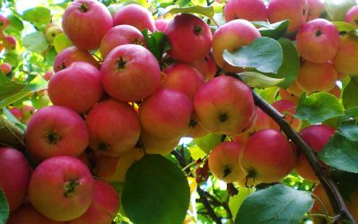 Siberian Apples by Zueuk