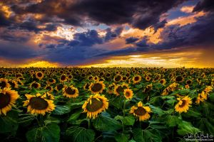 Colorado Sunflowers At Sunset by kkart