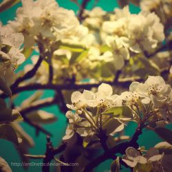 Blossom by Ant0nette