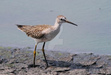 88. Lesser Yellowlegs - Tringa flavipes by Spirit-whales