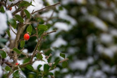 Berry in the snow by StressedTechnician