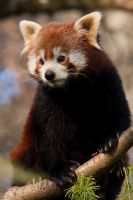 2878 - Red Panda by Jay-Co