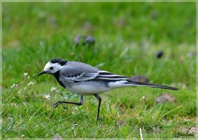 White wagtail by KlaraDrielle