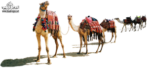 camels 2 by Mustafa-H