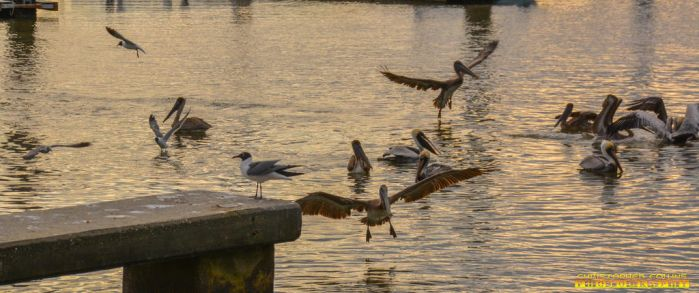 Pelican flying and Seagulls flying around port 1 by ENT2PRI9SE