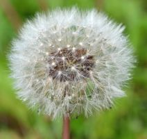 dandelion after the rain by priwax