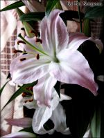 Lily Series - Touch of Pink II by doctor-surgeon
