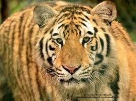 Bengal Tiger by 8TwilightAngel8