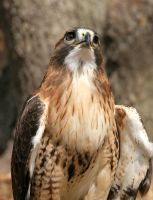 Red-tailed Hawk 20D0024728 by Cristian-M