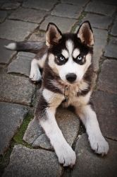 husky puppy by fotomartinez