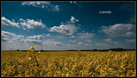 CANOLA by blume666