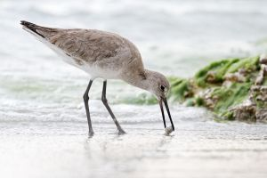 Willet by Jay-Co
