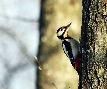 great spotted woodpecker by AlleyCat91