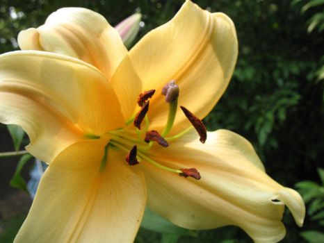 Lilly Version 34124 by Dellessanna