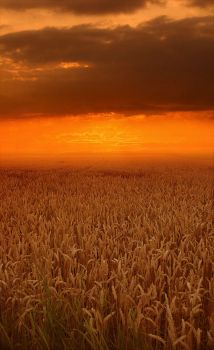 wheat by ssilence