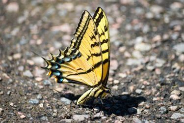 Confused Tiger Swallowtail by Chillstice