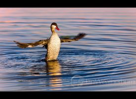 Red-Billed Teal Flap by MrStickman