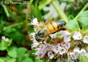 European Honey Bee Macro by BreeSpawn