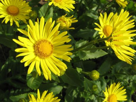 Sunshine on yellow flowers by silycat3
