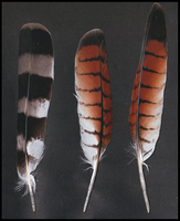 Roadside hawk feathers by TichodromaMuraria