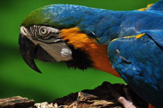 Golden Blue Macaw from another angle by Timocool