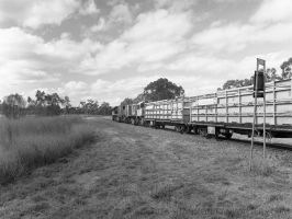 Cattle Train by ShannonIWalters