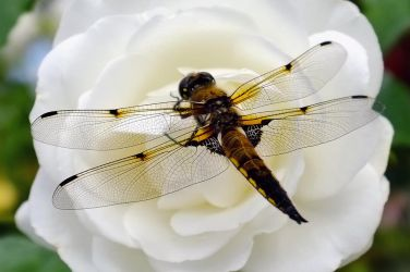 Dragon Rose White Fly by dart47
