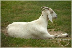 This is a goat by Ankh-Infinitus