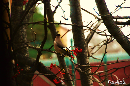 Waxwing by RaisedFists