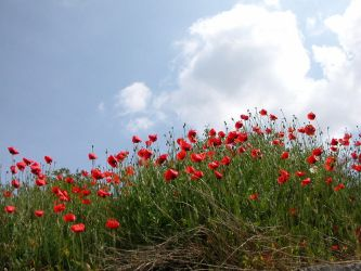 .Coquelicots. by Flore-stock
