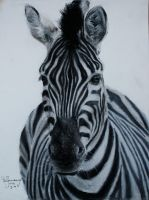 Zebra in Pastel by lluvia-estival