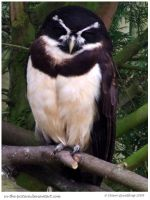 The Spectacled Owl by In-the-picture