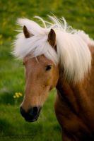 Icelandic Horse by aseaofflames