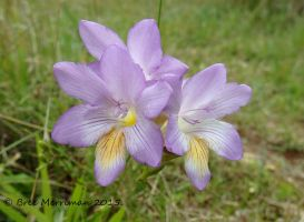 Purple Friesia Flowers by BreeSpawn