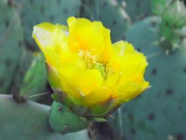 Wild Yellow Cactus Flower by TheGerm84