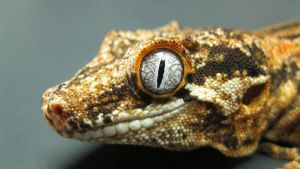 Male Gargoyle Gecko 2 by ReptileMan27