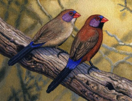 Violet-eared Waxbills by WillemSvdMerwe