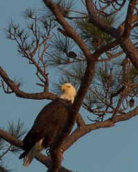 Bald Eagle by IceDragoness