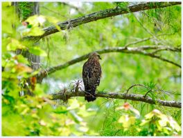 Red Shouldered Hawk Sittin' by RedPangolin